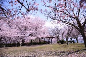 金毘羅公園に咲いている満開の桜