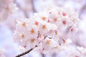 満開のソメイヨシノの花の画像